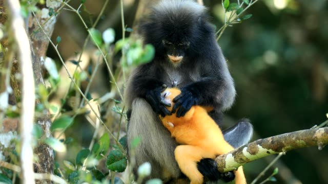 scene of southern spectacled langur with baby in the nature of thailand, scene real of animal in the wild - dusk stock videos & royalty-free footage