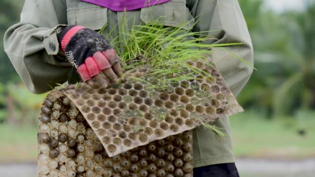scene of thai farmers planting rice - vietnam stock videos & royalty-free footage
