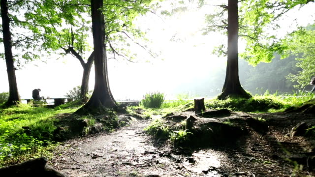 scene of trees  in morning, real time. tracking shot. - beech tree stock videos and b-roll footage