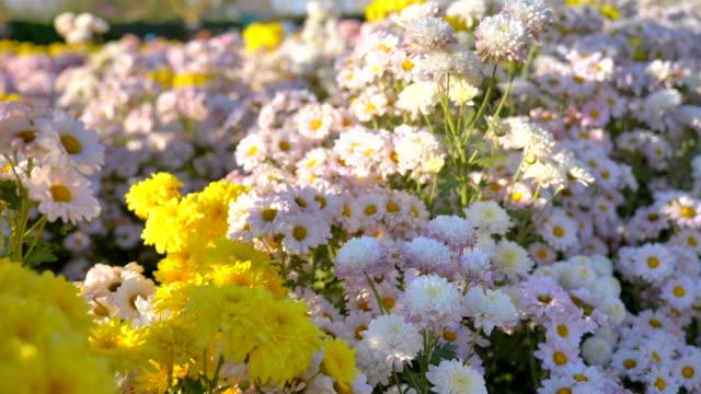 vidéos et rushes de scène lent mouvement de belles fleurs dans le jardin au coucher du soleil, fond de nature - botanique