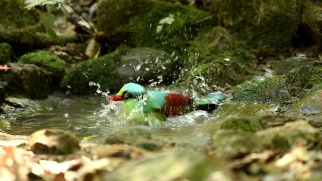 szene zeitlupe der gemeinsamen grünen elster in der natur spielt im teich, tier in freier wildbahn - elster stock-videos und b-roll-filmmaterial