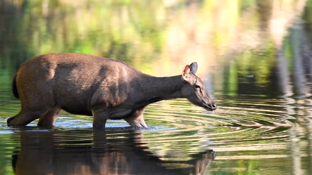 scene slow motion of deer walking in the lake at the nature, animal in the wild - fawn stock videos & royalty-free footage