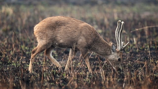 scene slow motion of hog deers in meadow, animal in the wild - antler stock videos & royalty-free footage