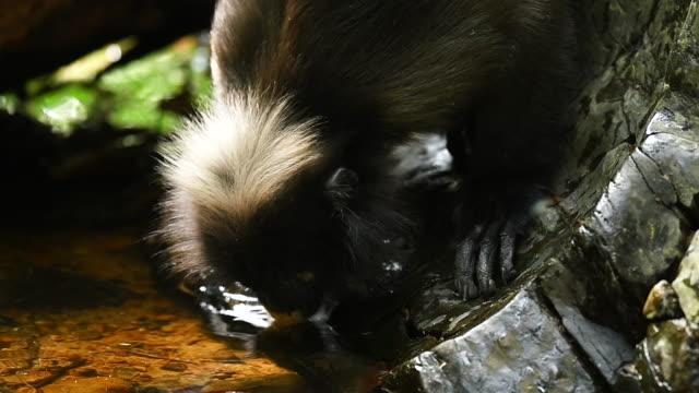 stockvideo's en b-roll-footage met scène slow motion van southern spectacled langur drinkwater in de natuur van thailand, scène echt van dier in het wild - noord