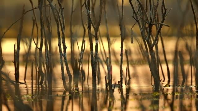 szene zeitlupe des wasservogels bewegt sich schnell entlang des sumpfes, tier in freier wildbahn - water bird stock-videos und b-roll-filmmaterial