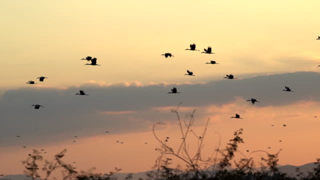 scene slow motion shot silhouette group of birds flying in the sky at sunset, animal in the wild - formation flying stock videos & royalty-free footage