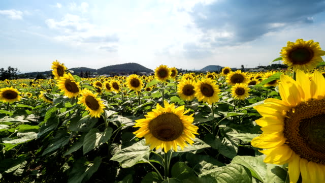 Scenery of sunflower bed with blue sky