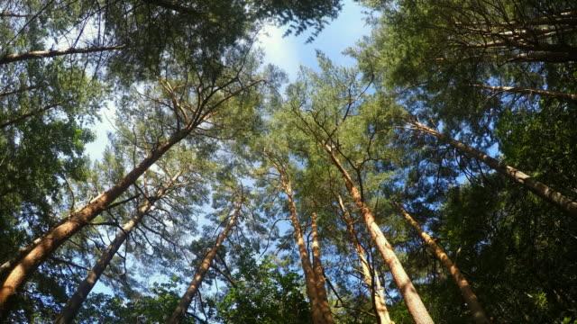 scenery of uljin geumgang pine forest / uljin-gun, gyeongsangbuk-do, south korea - とげ点の映像素材/bロール