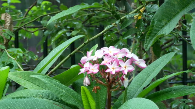 vídeos de stock, filmes e b-roll de paisagem vista em dia chuvoso, plumeria, frangipani - vegetable garden