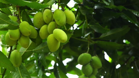 scenery view in rainy day - mango fruit stock videos & royalty-free footage