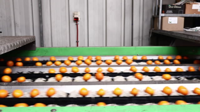 scenes from clementines plantation and fruit bnei dror ltd. production line, moshav bney dror, ha'sharon, israel on thursday february 13, 2020. - lavoratore agricolo video stock e b–roll