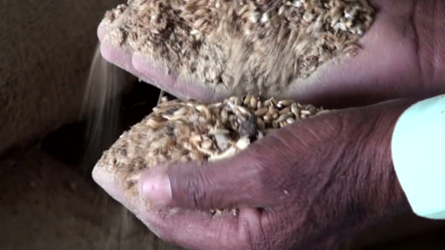 scenes from farms and fields destroyed by swarms of locusts. over the past year, the swarms have crossed africa and iran and onto pakistan and india,... - ダメージ点の映像素材/bロール