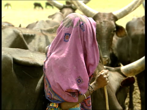 scenes of everyday life for people living next to the ever decreasing lake chad; more of kuri cattle / more female herder and flies / herd of kuri on... - herder stock videos & royalty-free footage