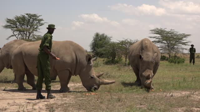 scenes of the last northern white rhinos in ol pejeta conservancy in kenya - guarding stock videos & royalty-free footage