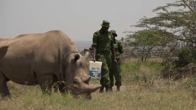 scenes of the last northern white rhinos in ol pejeta conservancy in kenya - national park stock videos & royalty-free footage