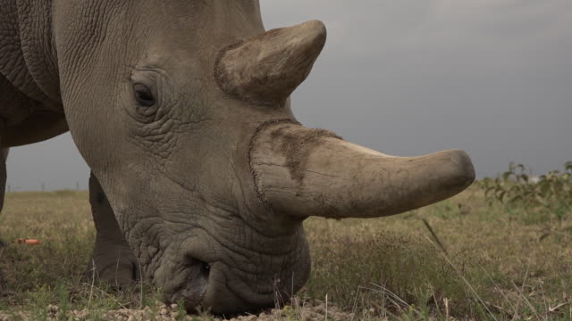 scenes of the last northern white rhinos in ol pejeta conservancy in kenya - rhinoceros stock videos & royalty-free footage