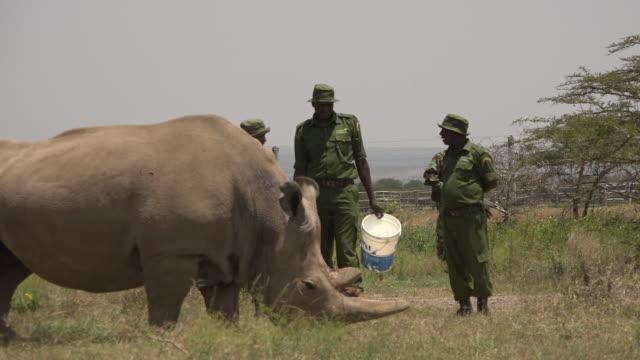 scenes of the last northern white rhinos in ol pejeta conservancy in kenya - last stock videos & royalty-free footage