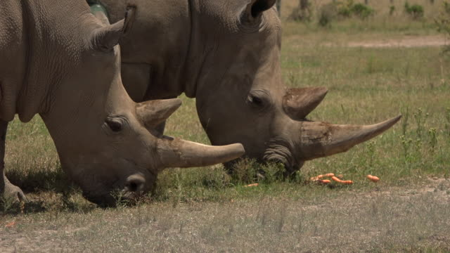 scenes of the last northern white rhinos in ol pejeta conservancy in kenya - 絶滅の恐れのある種点の映像素材/bロール