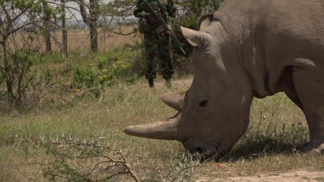 vidéos et rushes de scenes of the last northern white rhinos in ol pejeta conservancy in kenya - garder