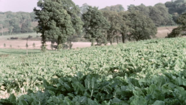 1967 montage scenes on a farm: herding cattle, crops, plowing, feeding, muck / united kingdom - 1967 stock videos and b-roll footage