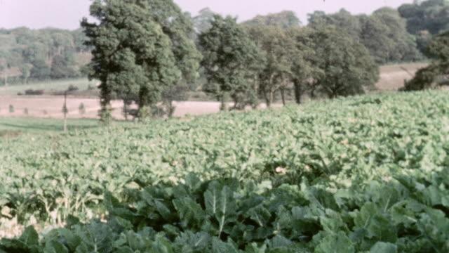 1967 MONTAGE Scenes on a farm: herding cattle, crops, plowing, feeding, muck / United Kingdom