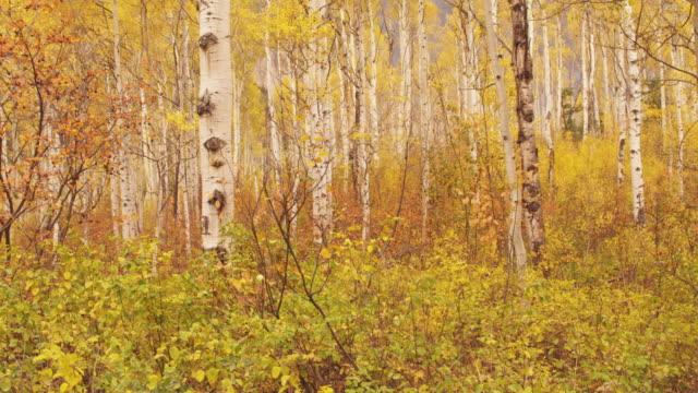 stockvideo's en b-roll-footage met scenic birch tree in utah, autumn - stilstaande camera