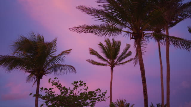 vidéos et rushes de scenic low angle view of wind blowing leaves of palm tree at sunset / salt whistle bay, mayreau, st. vincent and the grenadines - arbre tropical