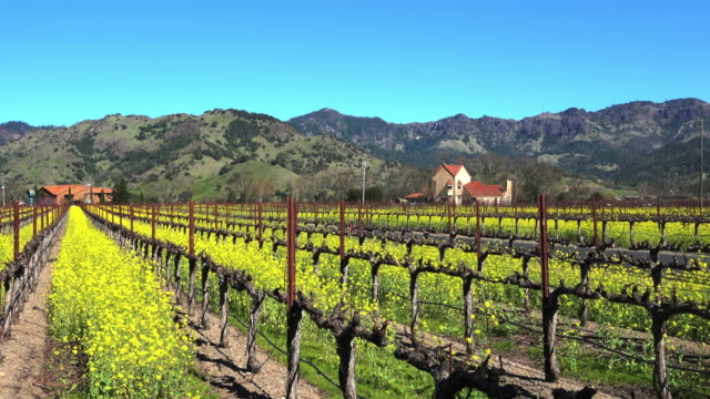 scenic napa valley vineyard in spring with colorful yellow mustard greens - napa california video stock e b–roll
