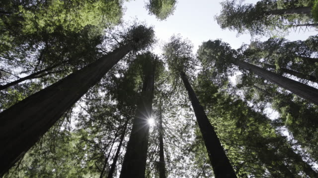 stockvideo's en b-roll-footage met scenic redwood forest, low angle - laag camerastandpunt