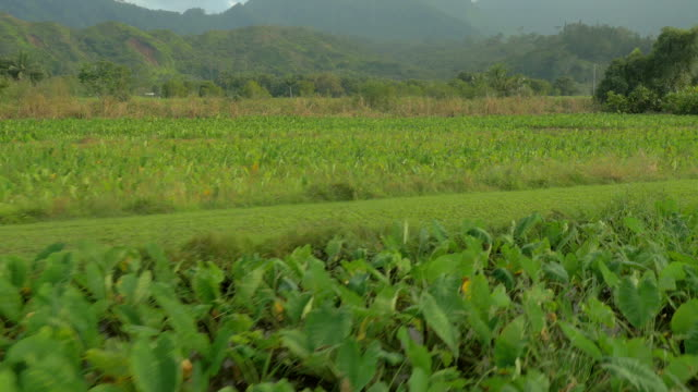 scenic taro fields in hawaii - pacific islands stock videos & royalty-free footage