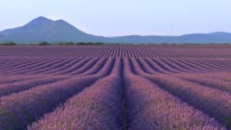 Scenic view of endless fields of lavender in Provence, France. Purple flowers emit wonderful odour. Blue mountains in background. Panning shot, 4K