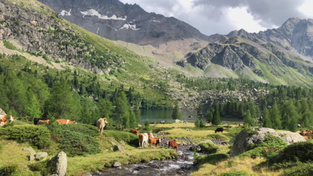 Scenic view of green mountains, cows, and a stream river. - Slow Motion
