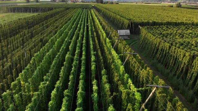 scenic view of hops field before harvest - hops crop stock videos and b-roll footage