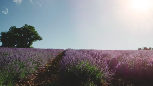 szenische ansicht des lavendelfeldes gegen den himmel - nah stock-videos und b-roll-filmmaterial
