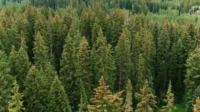 vídeos de stock e filmes b-roll de scenic view of pine forest in aspen - copa da árvore
