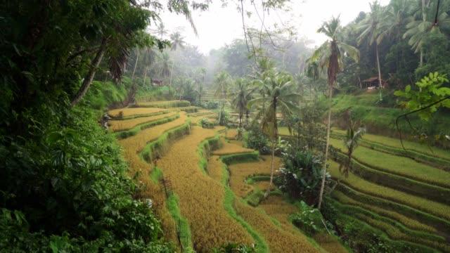 vidéos et rushes de vue panoramique du champ de riz de tegallalang sur bali, indonésie - rizière