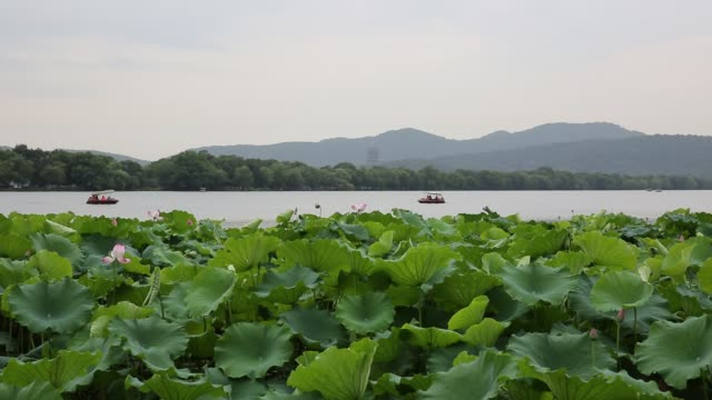 scenic view of the west lake in summer,hangzhou,china - sacred lotus stock videos and b-roll footage