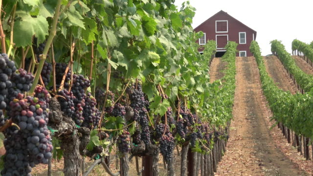 scenic vineyard landscape - vineyard stock videos & royalty-free footage