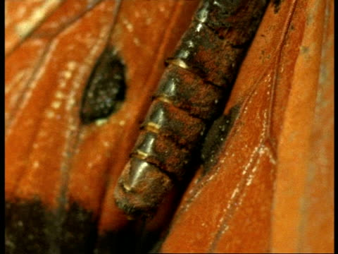 bcu scent pockets on wings of male florida queen butterfly (danaus gilippus), usa - gliedmaßen körperteile stock-videos und b-roll-filmmaterial