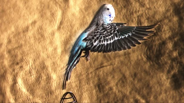 slomo ms schlieren footage blue budgerigar takes off vertically from cage showing air currents from wings - gabbia per gli uccelli video stock e b–roll