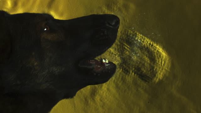 slomo schlieren footage cu showing air stream as alsatian dog barks - scented stock videos & royalty-free footage