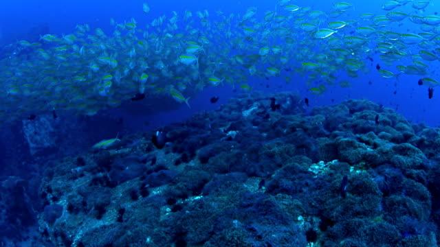 School mackerel fish underwater in Koh Tao, Thailand
