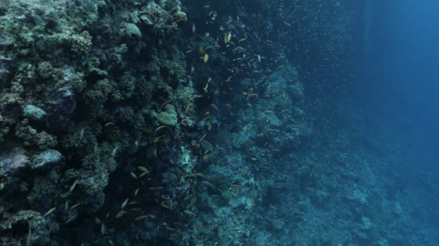 school of anthias fish and coral fish at deep sea reef in maldives - anthias fish stock videos & royalty-free footage