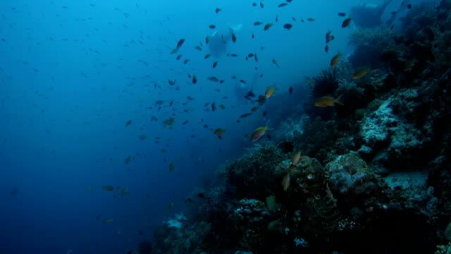 School of anthias fish and damselfish swimming undersea