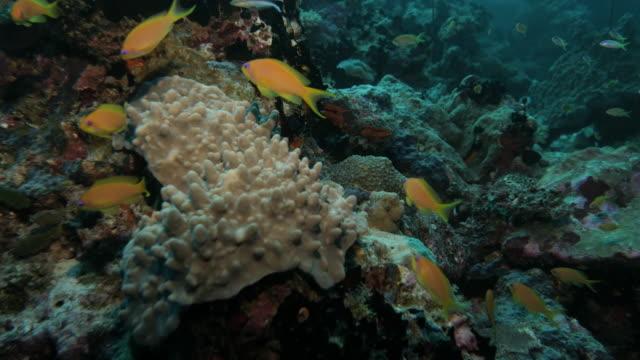 school of anthias fish at undersea coral reef - anthias fish stock videos & royalty-free footage