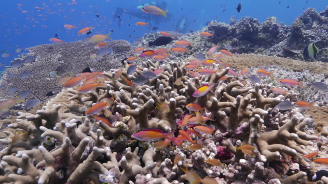school of anthias fish (sea goldie) hiding in hard coral - hard coral stock videos & royalty-free footage