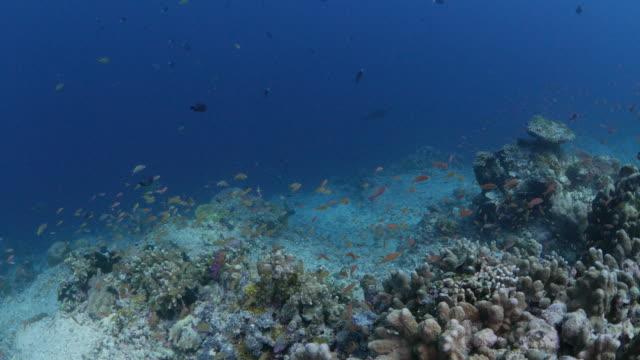 School of Anthias fish hiding in Staghorn hard coral, Sipadan