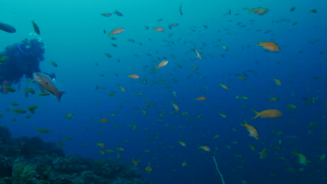 school of anthias fish in coral reef - anthias fish stock videos & royalty-free footage