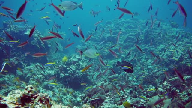 schule der anthias fische am korallenriff - animal behaviour stock-videos und b-roll-filmmaterial