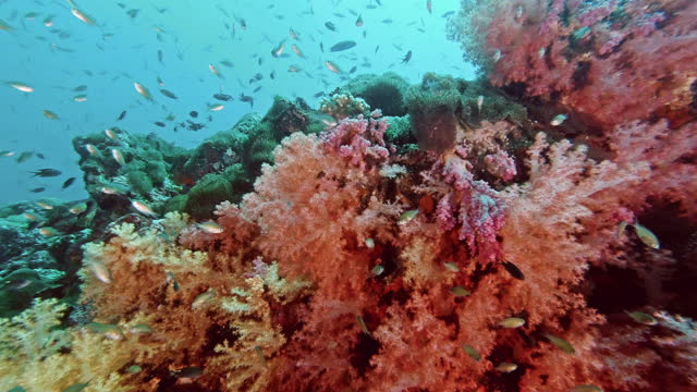 school of anthias fish on pink soft coral reef ko haa thailand - anthias fish stock videos & royalty-free footage